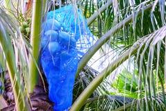 La rete blu ha avvolto i frutti della noce di cocco per la protezione del parassita Immagini Stock Libere da Diritti
