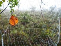 La rete del ragno e la foglia dell'albero di betulla con la mattina inumidiscono, la Lituania fotografia stock libera da diritti