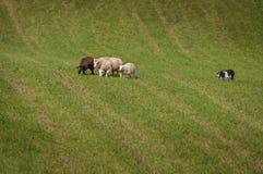 La reunión del perro trabaja al aries del Ovis de las ovejas lejos hacia fuera en campo Imagen de archivo libre de regalías