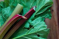 La rhubarbe de jardin fraîche sur le dessous de la rhubarbe endommagée par lingot part sur un fond en bois Fermez-vous vers le ha Images libres de droits