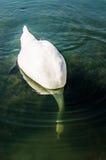 La ricerca subacquea del cigno bianco Immagini Stock
