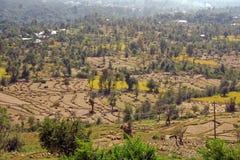 La risaia imballa i giacimenti India del riso della raccolta Immagine Stock