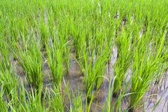 Giovane riso verde Fotografia Stock Libera da Diritti