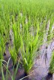 Giovane riso verde immagini stock