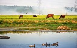 La risaia ottiene gruppi di estinzione di incendio e fiired che provano a fermare il fuoco immagine stock libera da diritti
