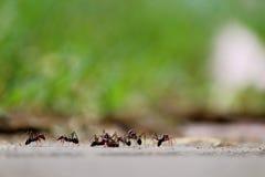 La riunione delle formiche Immagine Stock