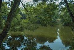 La riva dello stagno, su coltiva i salici alti con foliag spesso Fotografia Stock