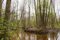 La rivière marécageuse avec le canal embranché entre dans l'allée de forêt des cendre-arbres Nature de Volyn en mai Ressort en Eu photographie stock
