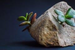 La roca gris partió en dos porciones por la pequeña planta suculenta verde Azul marino, cerca de fondo negro El concepto de ecolo Fotografía de archivo libre de regalías