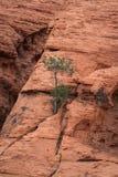 La roccia rossa con un cittadino solo del canyon della roccia dell'albero in rosso Cons Immagini Stock Libere da Diritti