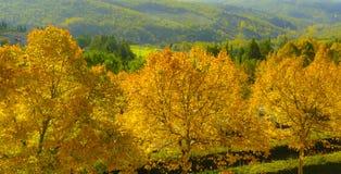 La Rolling Hills verde del paese di vino italiano con gli alberi gialli dell'autunno Fotografia Stock