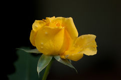 La rosée a couvert Rose jaune de pétales ouverts Photo stock