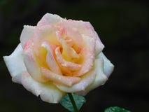 La rosée a embrassé Rose photos stock