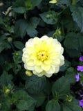 La rosée jaune couverte s'est levée Images stock