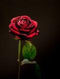 La Rosa Fotografie Stock
