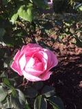 La Rosa Fotografie Stock Libere da Diritti