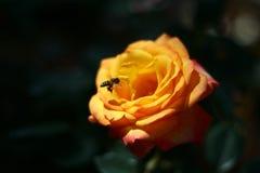 La rosa amarilla es hermosa, abeja que pulula a Rose amarilla, rosa amarilla Imagen de archivo libre de regalías