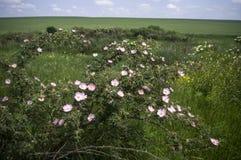 La rosa canina selvatica con i fiori Fotografie Stock Libere da Diritti