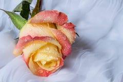 La rosa colorida con agua cae - el fondo blanco Imagen de archivo