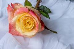 La rosa colorida con agua cae - el fondo blanco Fotografía de archivo libre de regalías