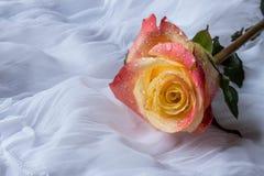 La rosa colorida con agua cae - el fondo blanco Imágenes de archivo libres de regalías