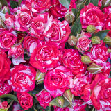 La rosa colorida florece el primer imagen de archivo libre de regalías