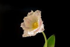 La rosa de la luz coloreó el solo tulipán delante del fondo negro Imagenes de archivo