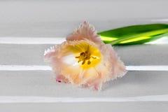La rosa de la luz coloreó el solo tulipán en un metro de madera blanco con la luz brillante Foto de archivo