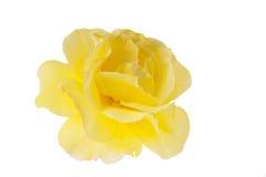 La rosa del amarillo aisló Imágenes de archivo libres de regalías