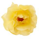 La rosa del amarillo aisló Fotos de archivo libres de regalías
