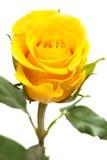 La rosa del amarillo aisló Foto de archivo libre de regalías