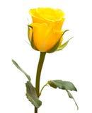 La rosa del amarillo aisló Imagen de archivo libre de regalías