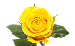 La rosa del amarillo aisló Imagenes de archivo