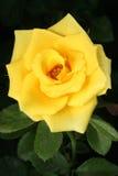 La rosa del amarillo en fondo negro, subió en jardín Fotos de archivo