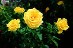 la rosa del amarillo tiró en luz natural en fondo oscuro Imagen de archivo libre de regalías