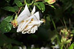 La rosa del blanco con lluvia cae en los pétalos Foto de archivo