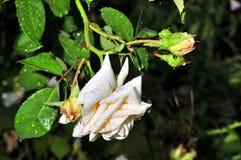 La rosa del blanco con lluvia cae en los pétalos Fotografía de archivo