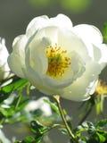 La rosa del blanco salvaje subió Foto de archivo libre de regalías