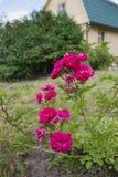 La rosa del carmesí que se encrespa en un jardín Fotos de archivo libres de regalías