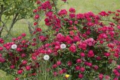 La rosa del color rojo floreció en jardín Fotos de archivo libres de regalías