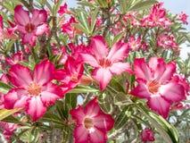 La rosa del deserto Fotografia Stock