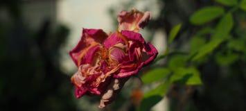 La rosa del lado está marchitando Imagen de archivo libre de regalías