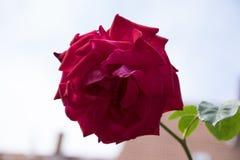 La rosa del rojo adentro rosengarden Imágenes de archivo libres de regalías