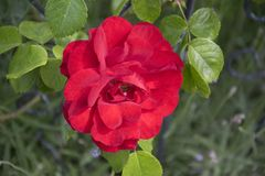 La rosa del rojo adentro rosengarden Imagen de archivo