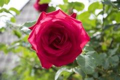La rosa del rojo adentro rosengarden Fotografía de archivo