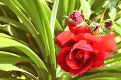 la rosa del rojo con los brotes en un fondo del verde largo se va fotografía de archivo libre de regalías