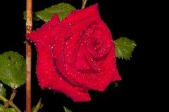 La rosa del rojo contra un fondo oscuro, con agua cae en sus pétalos y hojas depositados por un temporal de lluvia de la tarde Fotos de archivo