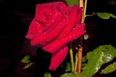 La rosa del rojo contra un fondo oscuro, con agua cae en sus pétalos y hojas depositados por un temporal de lluvia de la tarde Foto de archivo