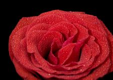 La rosa del rojo en descensos se cierra para arriba Foto de archivo