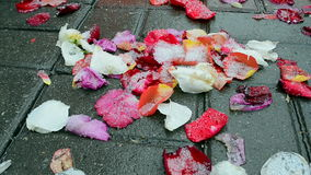 La rosa del rojo hojea debajo de la nieve mojada, ambiente, almacen de metraje de vídeo